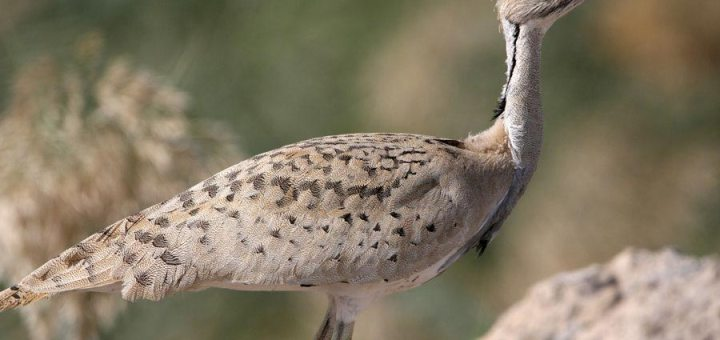 Macqueen's Bustard standing on the ground