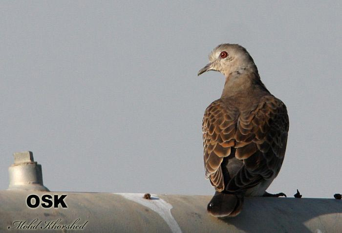 Oriental Turtle Dove looking to the left