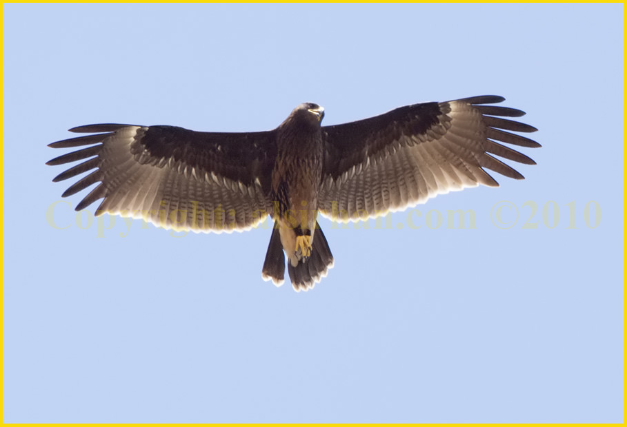 Greater Spotted Eagle Aquila clanga in second winter plumage