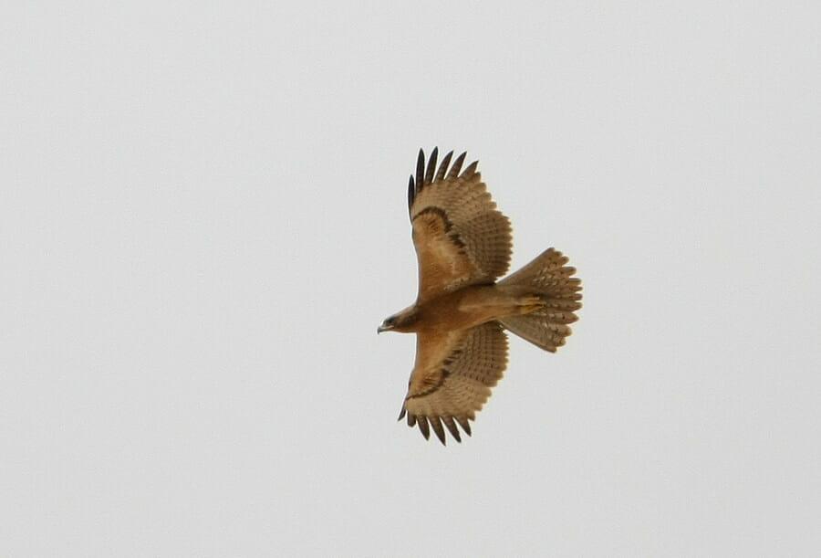 Bonelli's Eagle in flight
