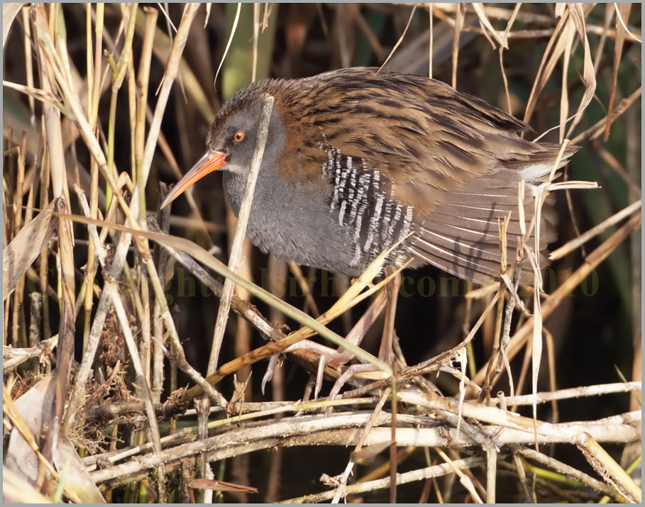 Water Rail in dry reed bed stems
