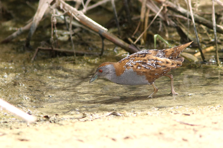 Baillon's Crake perching on ground