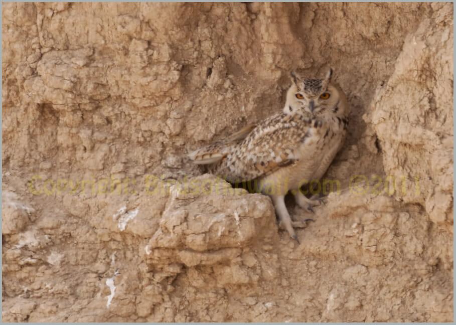 Pharaoh Eagle OwL Bubo ascalaphus