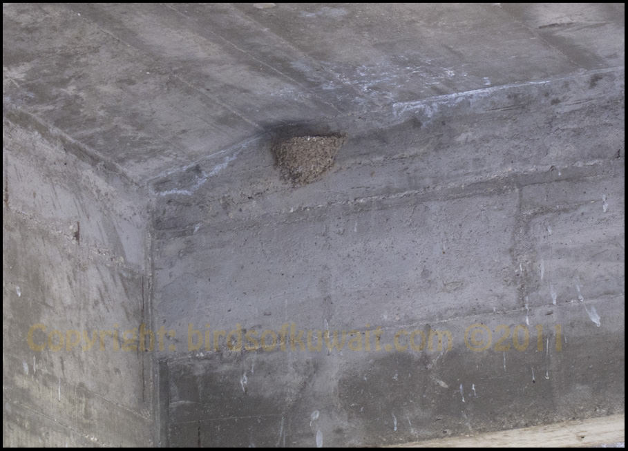 Crag Martin nest under bridge