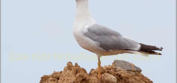 Yellow-legged Gull perched on a mound