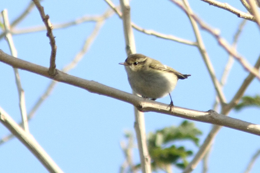 Hume's Leaf Warbler perched on a branch of a tree