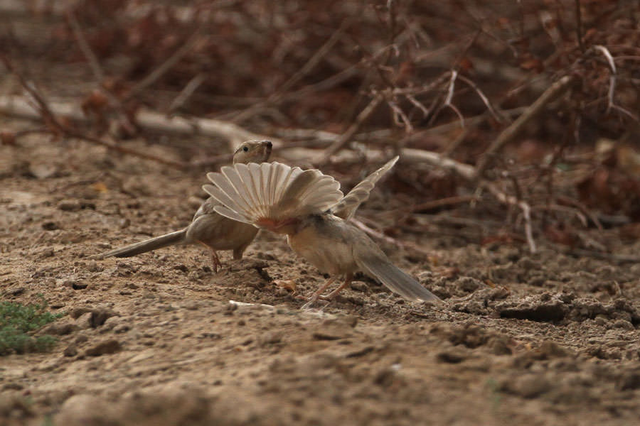 Afghan Babbler feeding its young