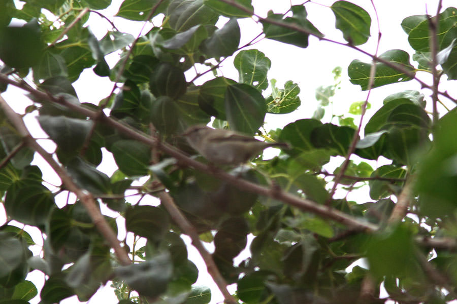 Hume's Leaf Warbler in a tree