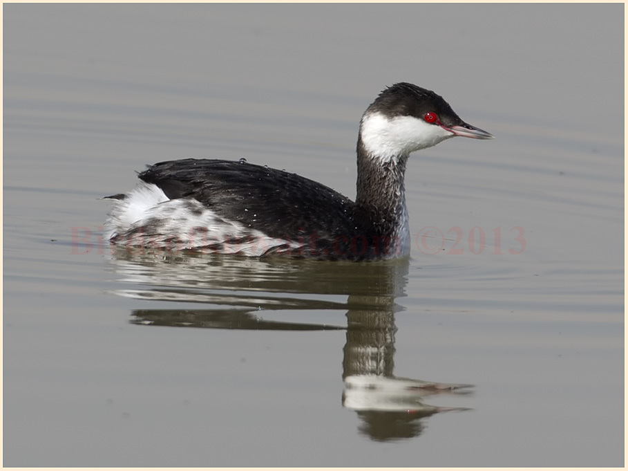 Horned Grebe swimming on water