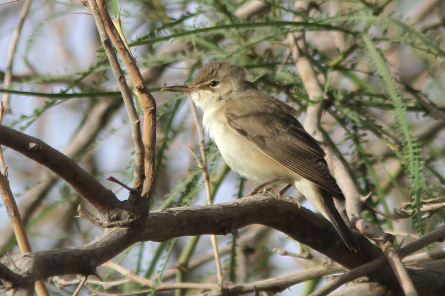 A Basra Reed Warbler perching on a branch