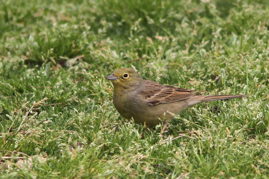 Cinerereous Bunting on grass