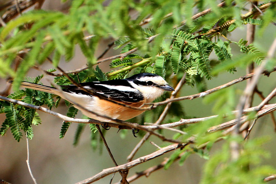 A Masked Shrike perching on a tree