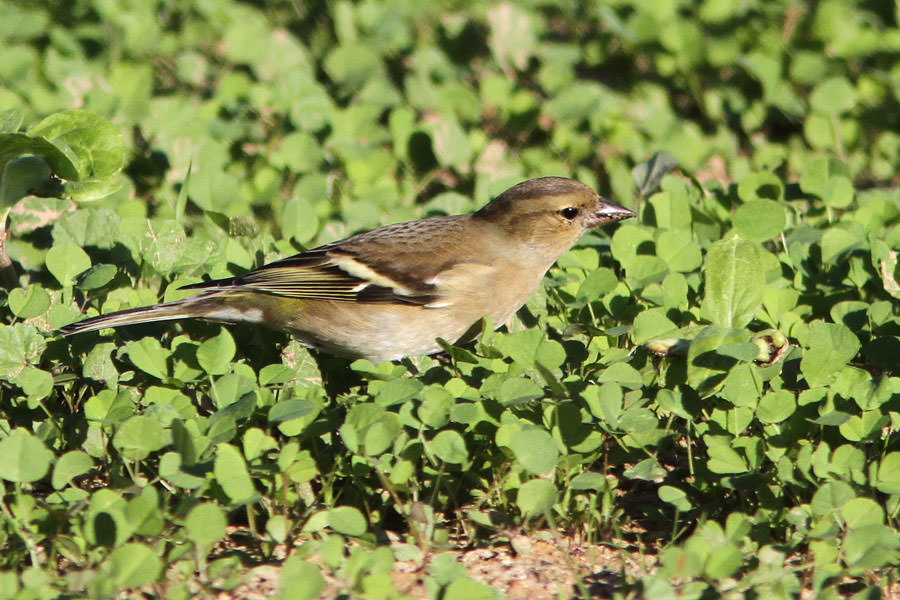 Common Chaffinch Fringilla coelebs perching on ground