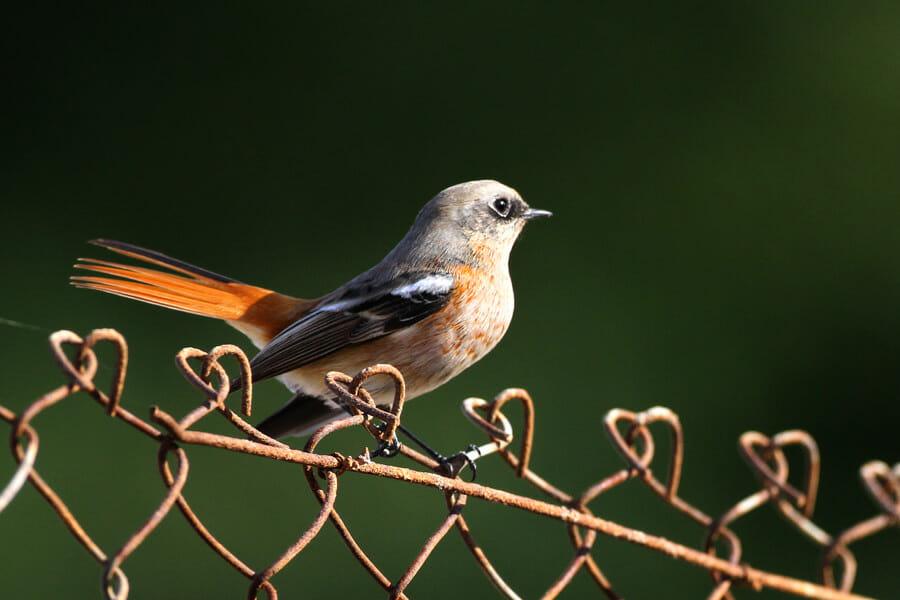 Eversmann's Redstart Phoenicurus erythronotus perching on fence