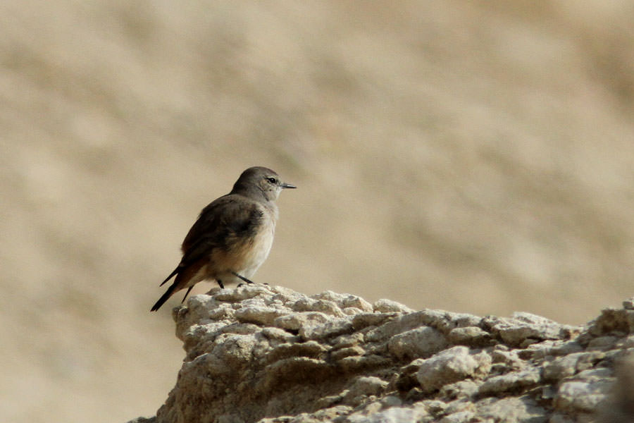 Red-tailed Wheatear Oenanthe chrysopygia perching on a rock