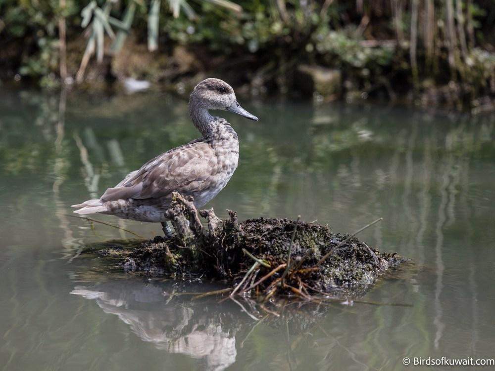 Marbled Duck Marmaronetta