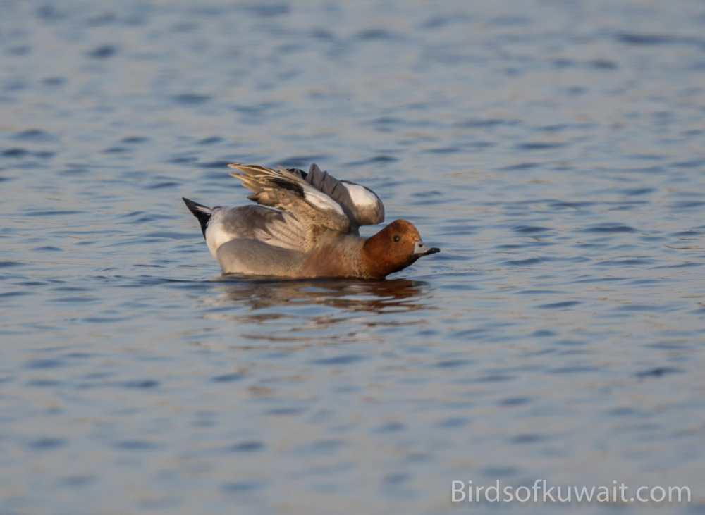 Long-tailed Duck Clangula hyemalis
