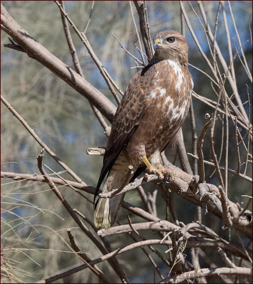 Common Buzzard (Buteo buteo vulpinus/menetriesi)