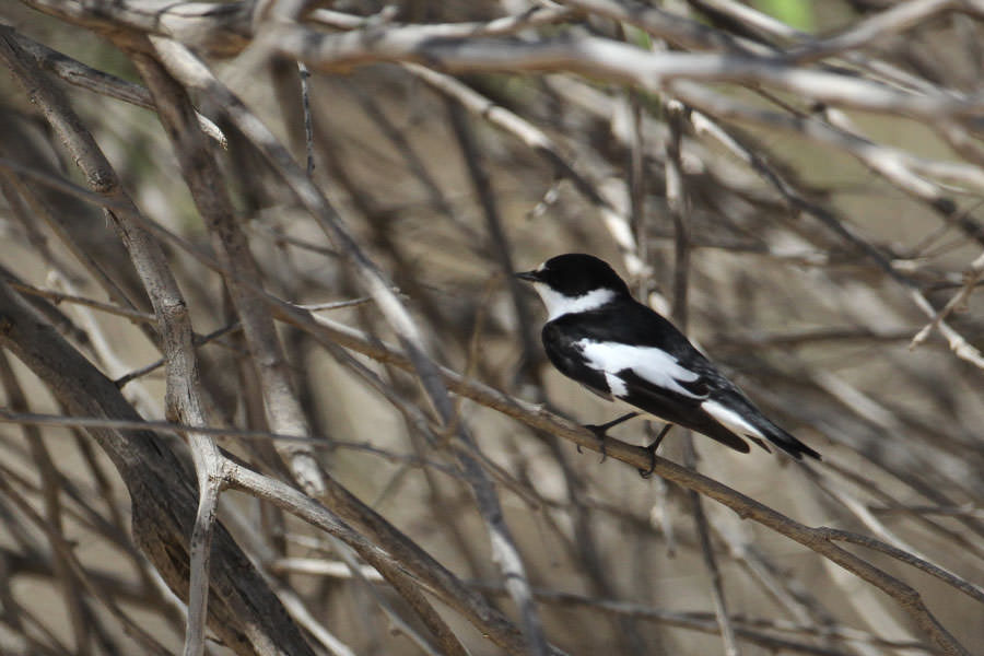 Semi-collared Flycatcher perching on a tree