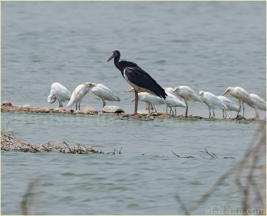 Abdim's Stork standing near water