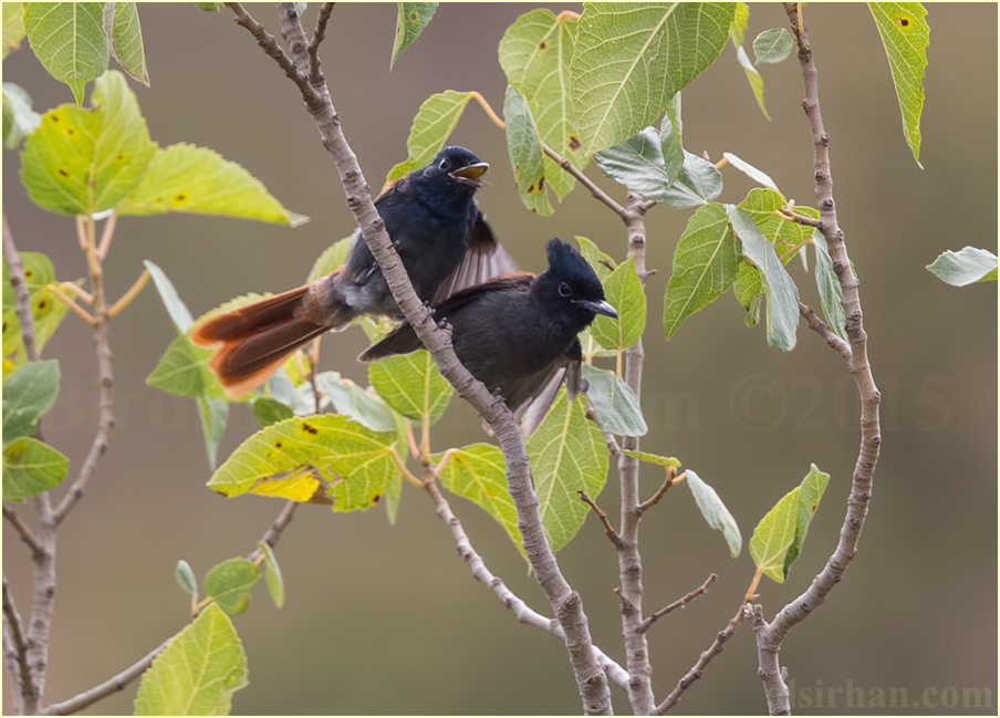 African Paradise-Flycatcher perched on top of a tree