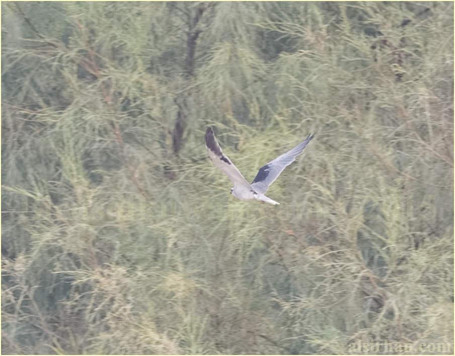 Black-winged Kite in flight
