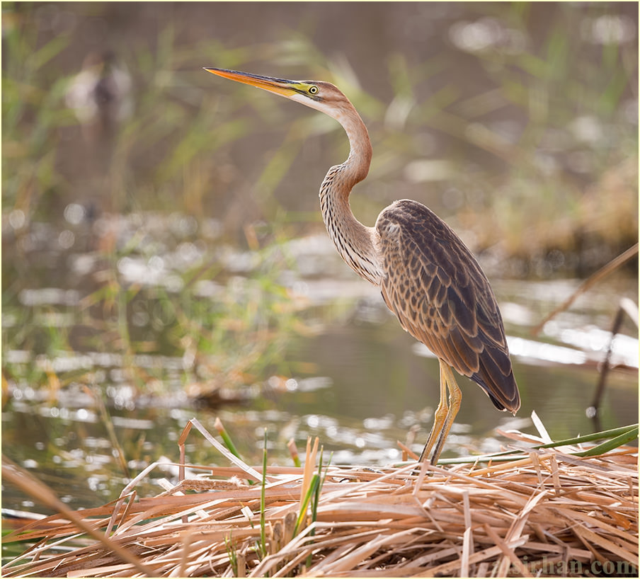 Purple Heron pertained on haystack
