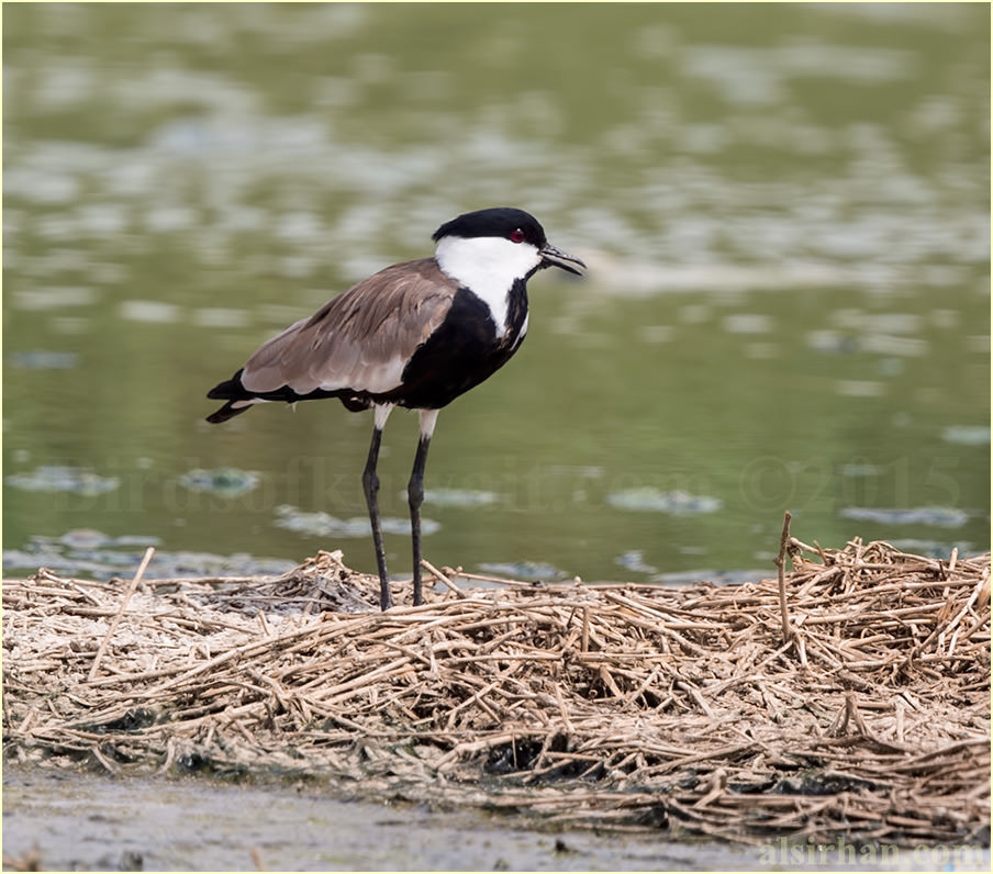 A Spur-winged Lapwing standing near water