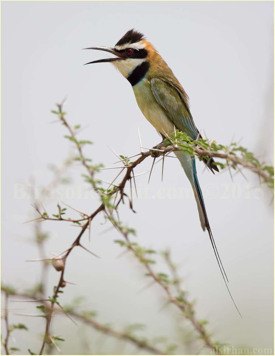 White-throated Bee-eater perched on a tree branch