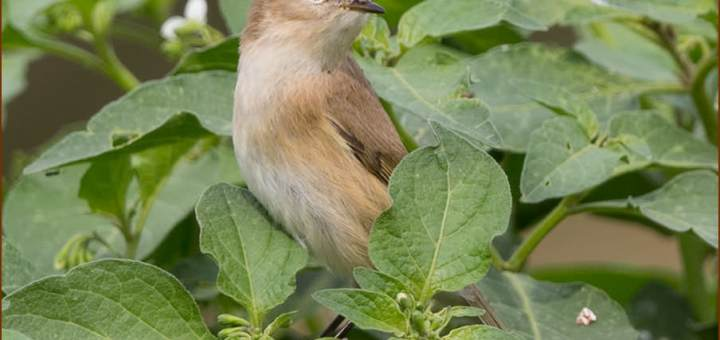 Mountain Chiffchaff perched on top of a bush