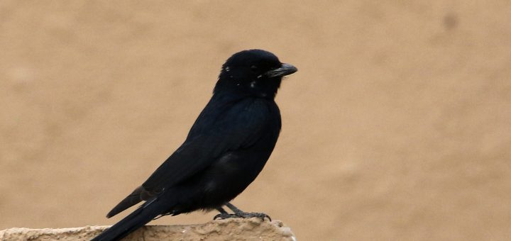 Black Drongo perched on a rock
