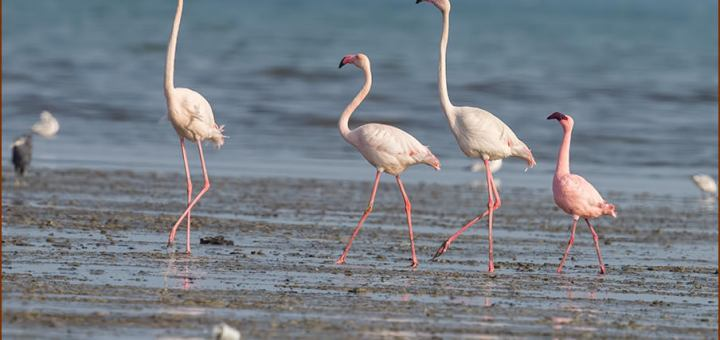 Lesser Flamingo standing on the ground near water with Greater Famingos