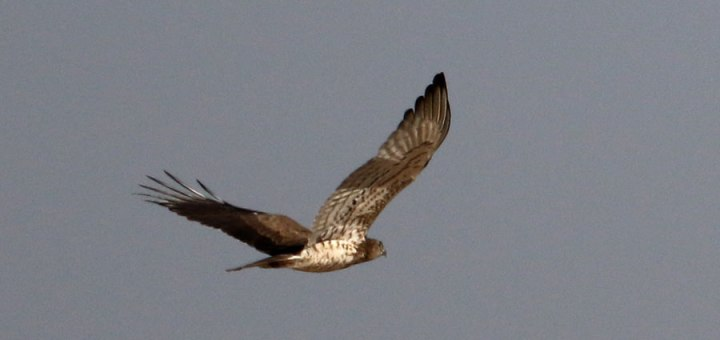 Crested Honey Buzzard in flight