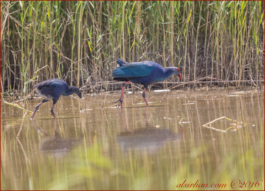 Grey-headed Swamphen Porphyrio poliocephalus