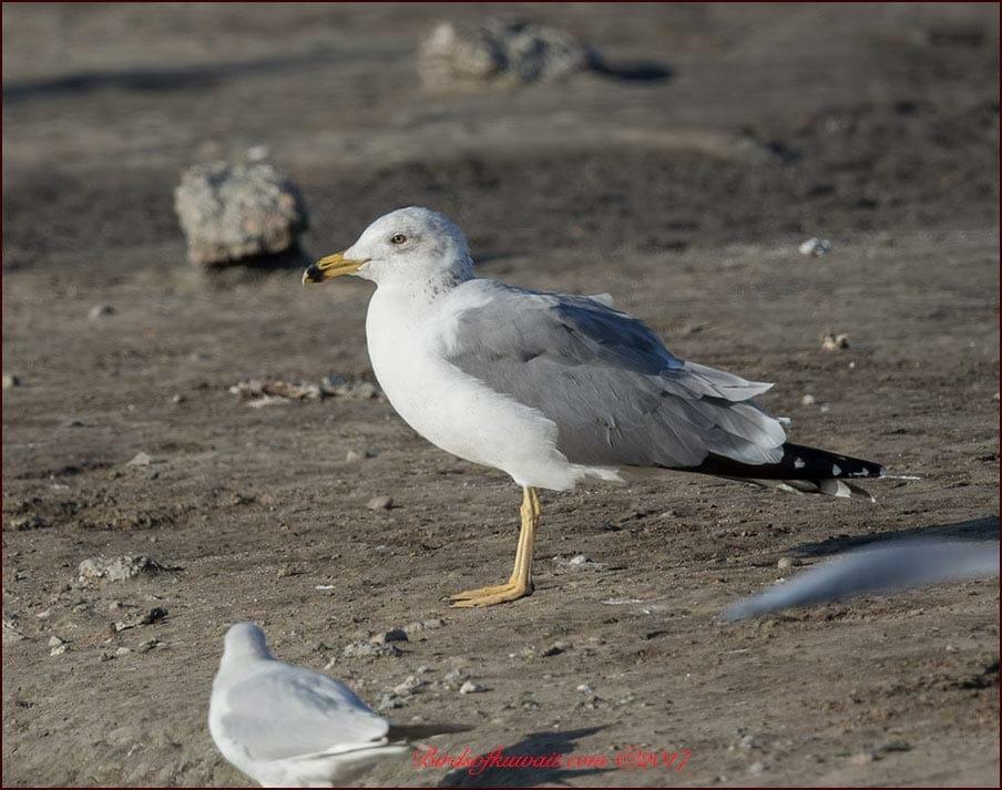 Armenian Gull Larus armenicus