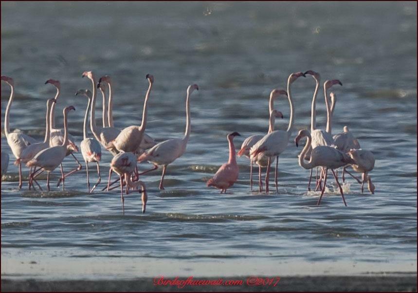 Lesser Flamingo Phoeniconaias minor