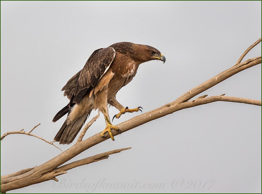 Bonelli's Eagle perching on a branch