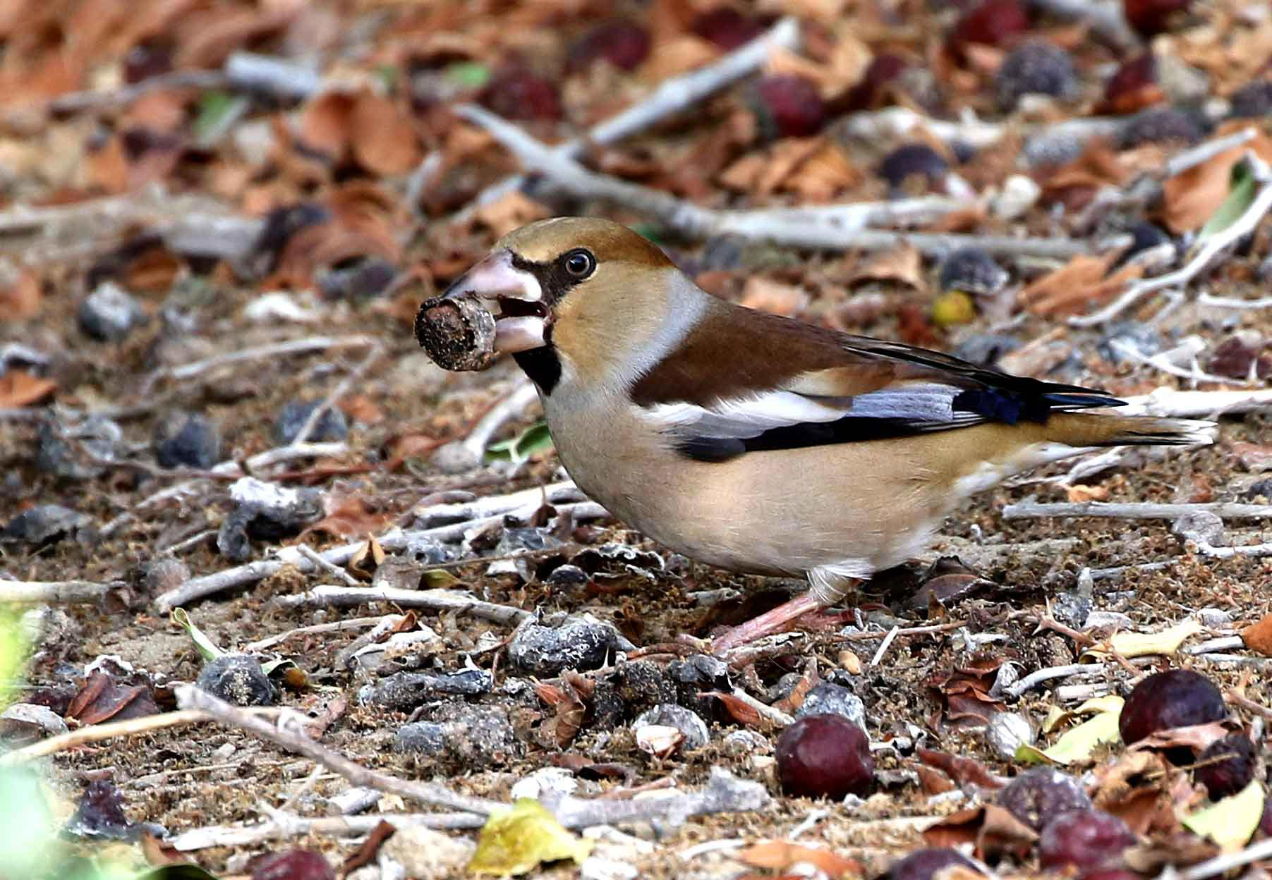 Hawfinch feeding Ziziphus Spina-christi fruit