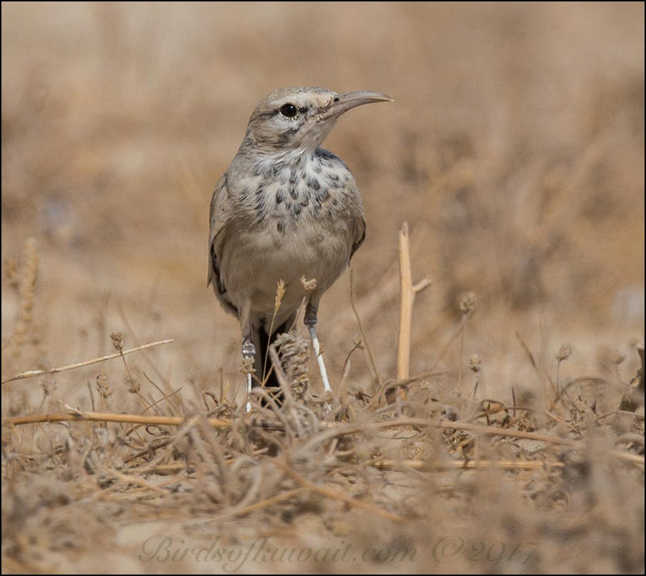 Greater Hoopoe-Lark on twigs on the ground