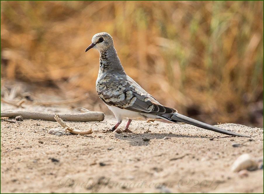 A juvenile Namaqua Dove on the ground