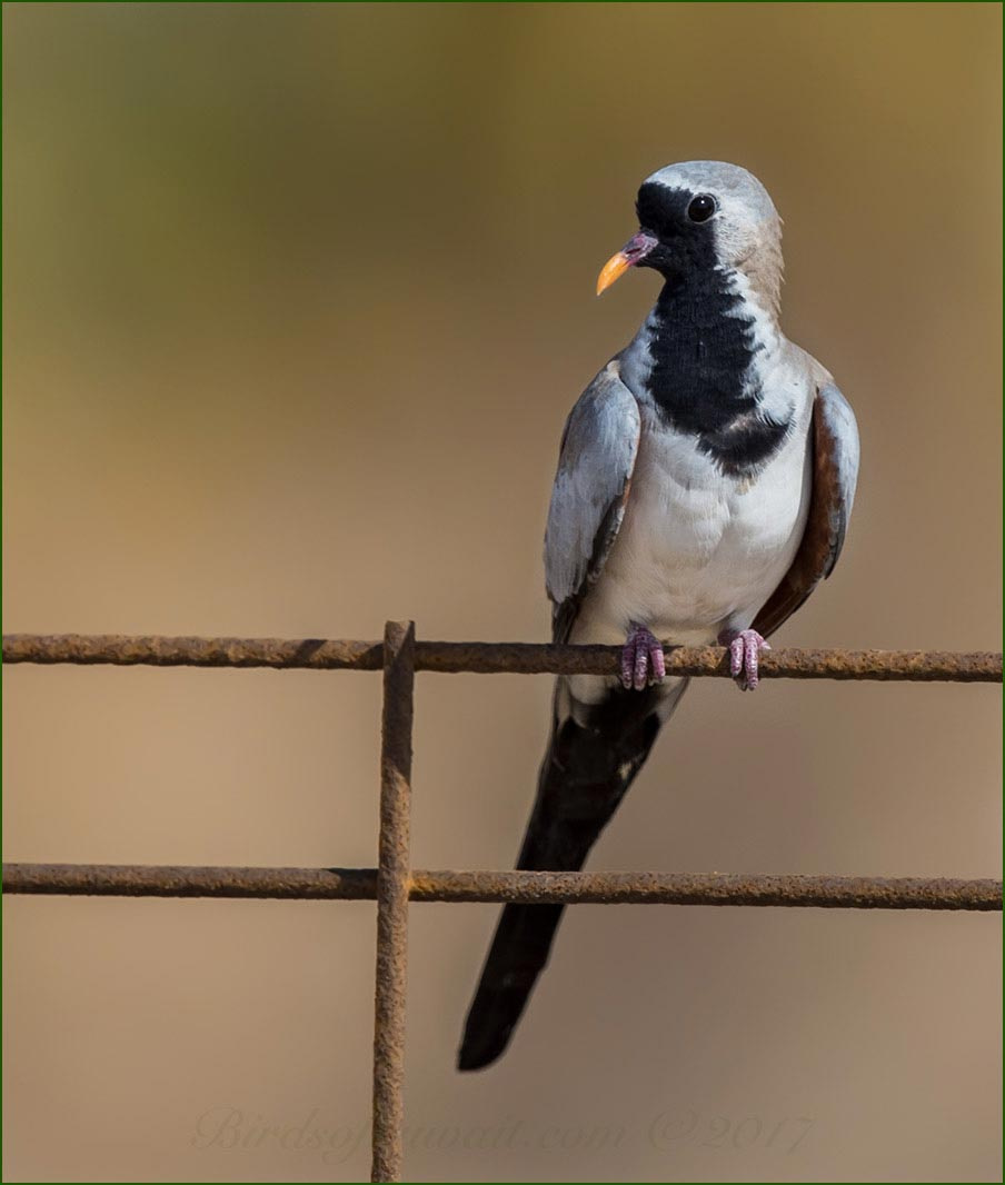 A Namaqua Dove is perched of a fence