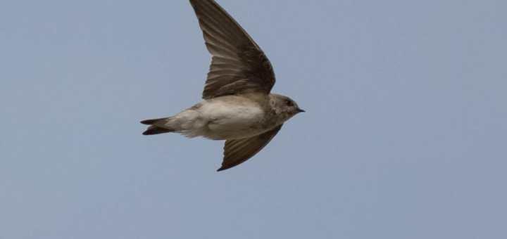 Grey-throated Martin in flight