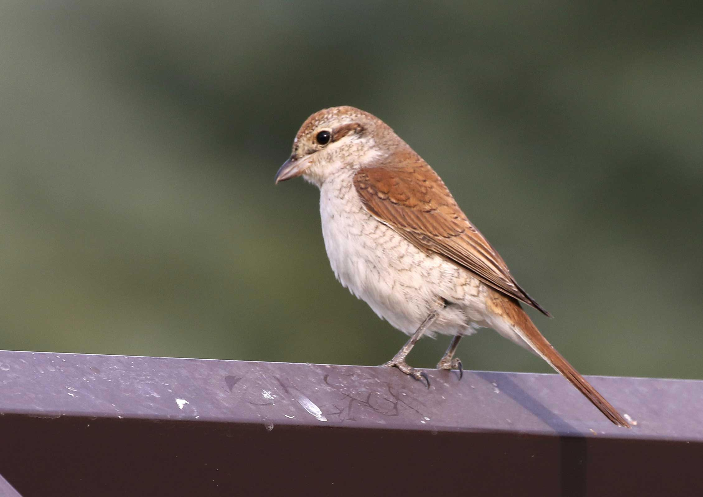 Red-backed Shrike perching on steel fence