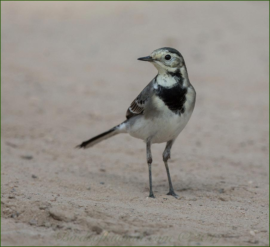 White Wagtail on the ground