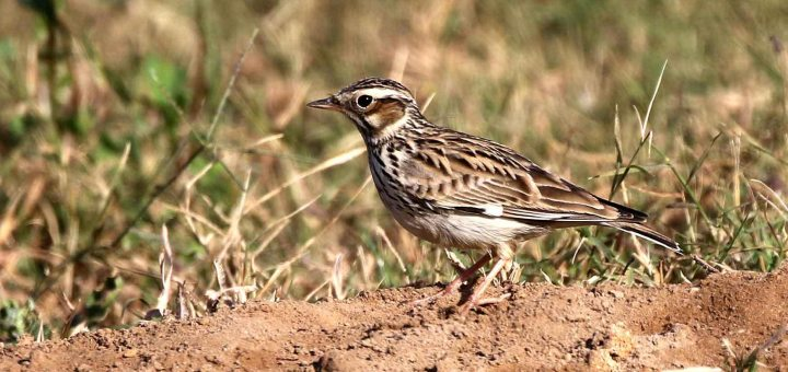 Woodlark on ground