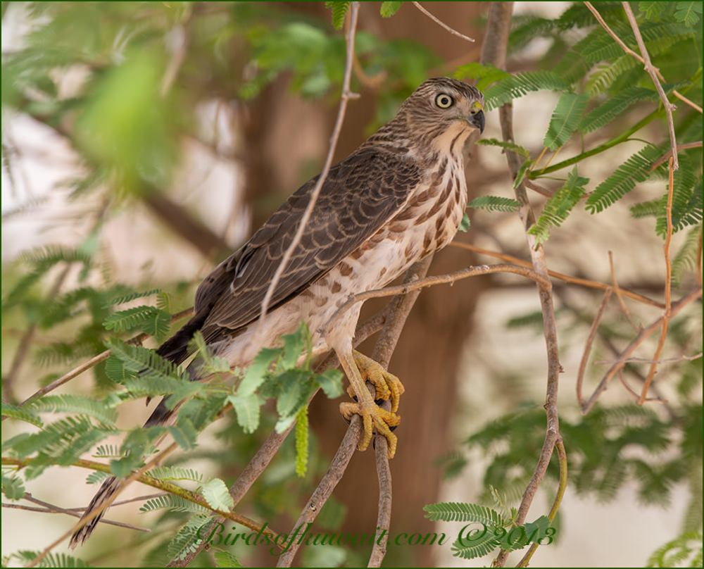 Asian Shikra perched on a branch of a tree