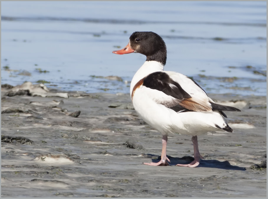 Common Shelduck perched on ground