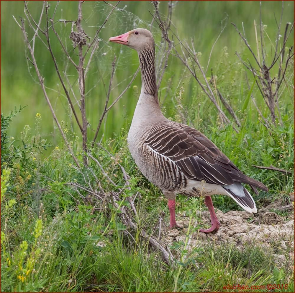 Eastern Greylag Goose standing on ground