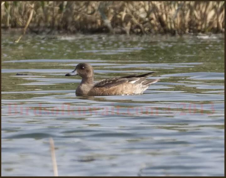 Eurasian Wigeon swimming in water
