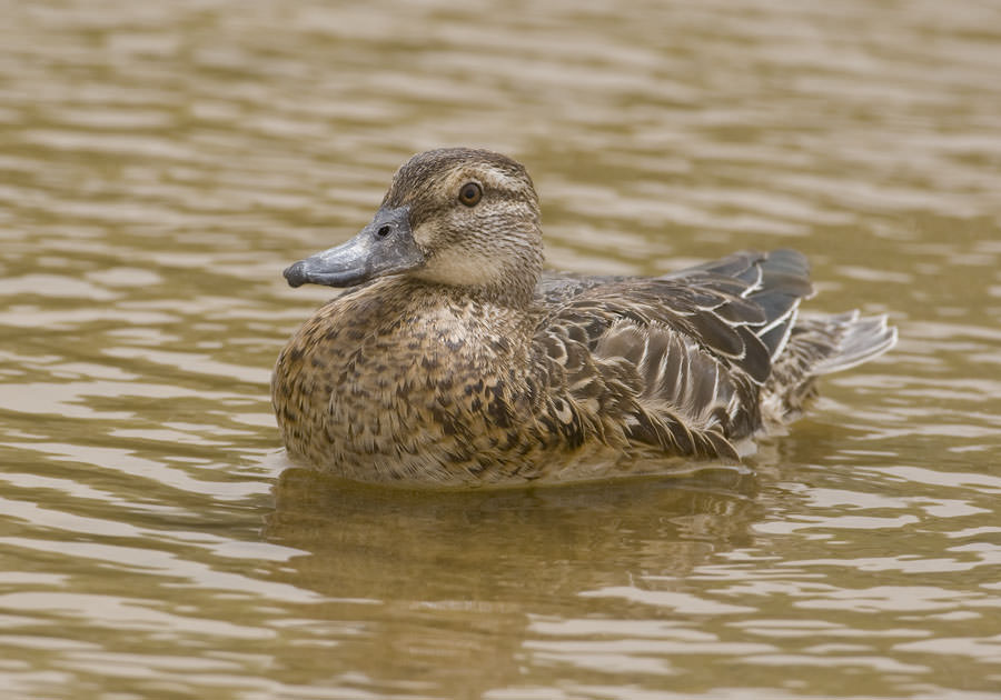 Garganey swimming in water
